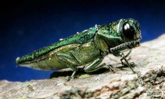 Save Your Ash Trees or Give Them Up to the Bug!